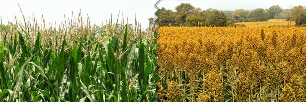 corn-vs-sorghum-web
