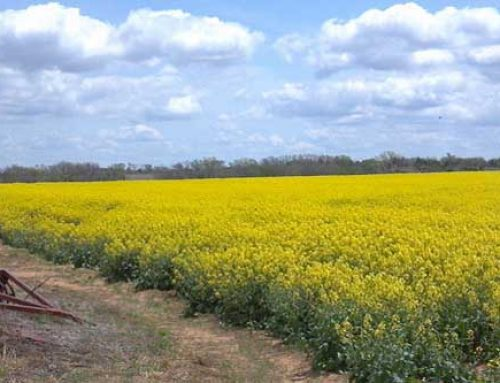 Growing Canola: Management is Key to Production