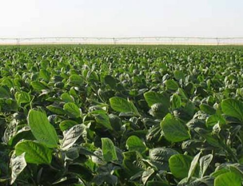 Avoiding Insect And Weed Issues In Soybeans