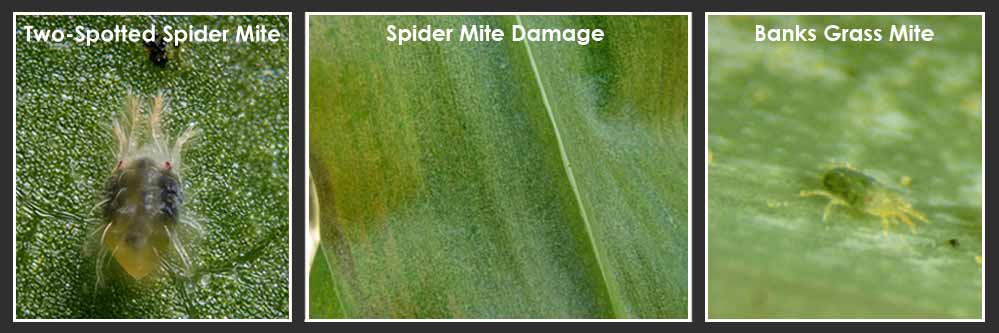 spider mite management in corn