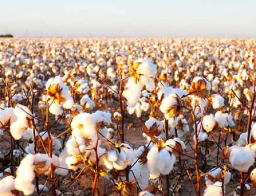 Modes to Managing Cotton Growth