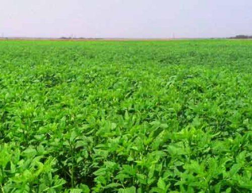 Demand for Guar Piques Grower Interest