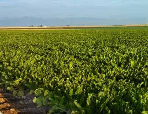Nitrogen Levels Vital To Sugar Beet Production