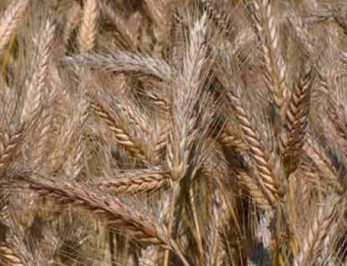 Triticale an Alternative Crop to Wheat and Rye