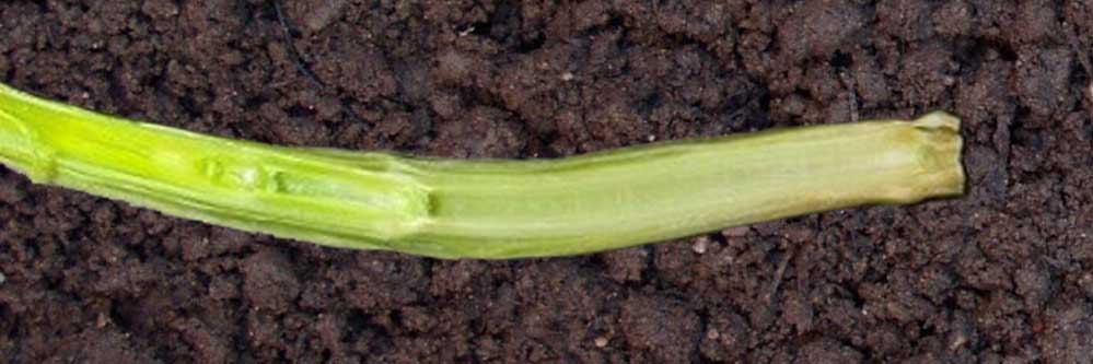 Jointing and First Hollow Stem in Wheat