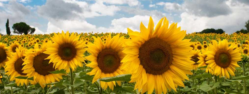 Controlling Sunflower Stem Borer May Not Include the Use of an Insecticide