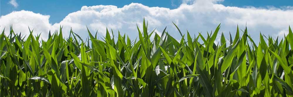 Corn Borer & Late Season Pest in Corn