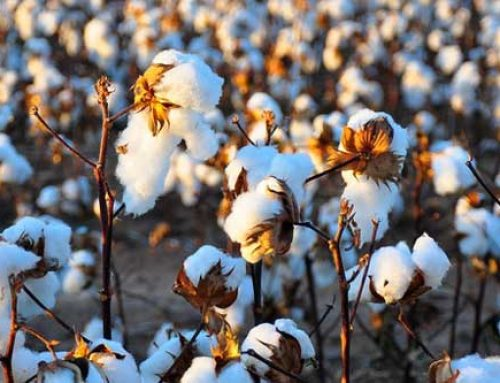 Cotton: Starting Clean, Keeping Clean