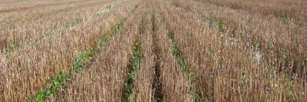 Considerations For Double Crop Soybeans