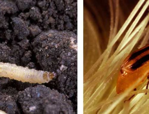 Rootworm Strategies