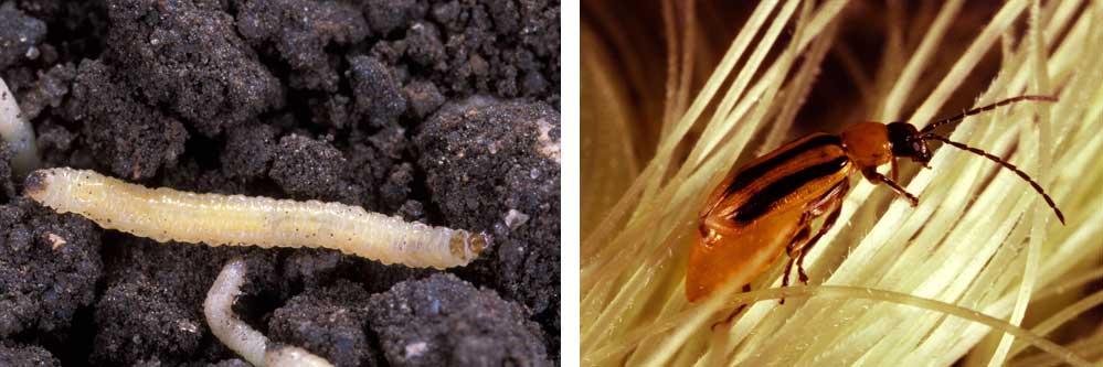 Rootworm Strategies