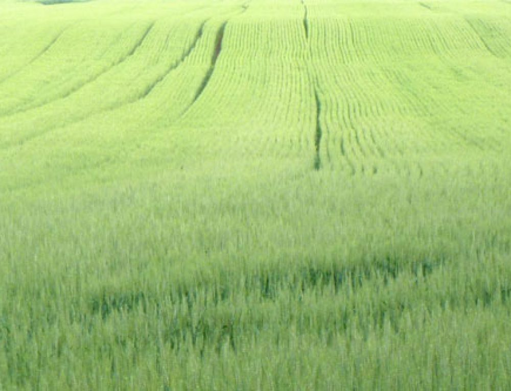 Managing Wheat This Spring