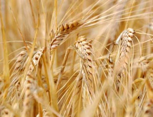 Preparing For Your Next Wheat Crop – Now!