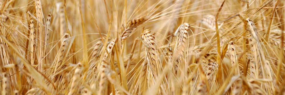 Start Preparing For Your 2018 Wheat Crop – Now!