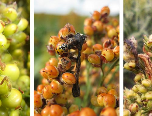 A New Tool in Insect Resistance Management