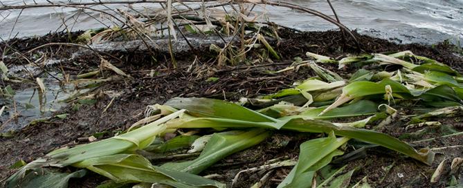 USDA Flooded Corn Field