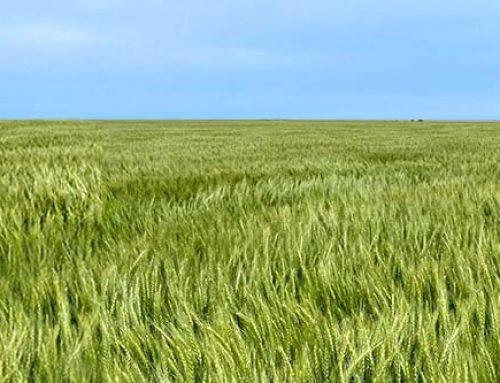 Wheat Streak Mosaic Management in Southwest Kansas